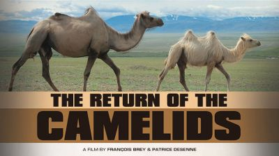 The-Return-of-The-Camelids.jpg
