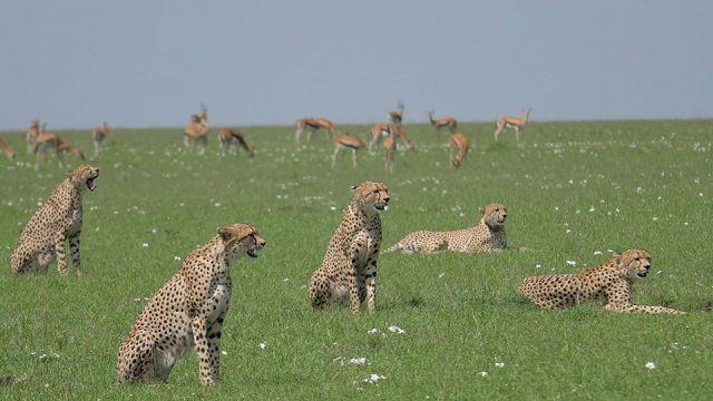 WL_cheetahs_01.jpg